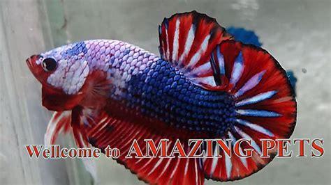 fancy betta fish youtube