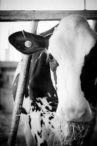 La Vache - home decor - cows and farm animals - kids room ...