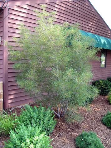 fernleaf buckthorn miller nursery