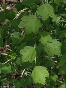 Ribes, Missouriense, Missouri, Gooseberry, Minnesota, Wildflowers