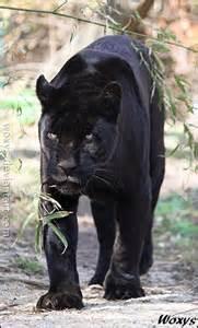 Black Panther Jaguar Animal