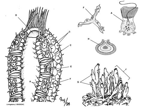 sponge anatomy coloring and information sheet biology