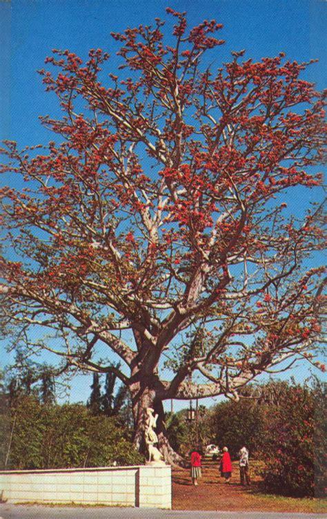 florida memory tree  kapok tree inn clearwater florida