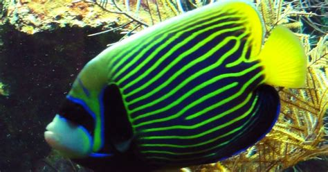 life  emperor angelfish life  sea