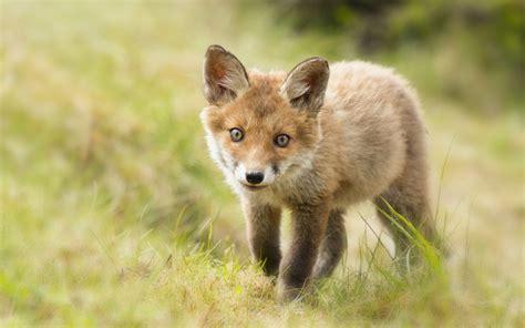 Baby Fox Hd 34468 2560x1600px