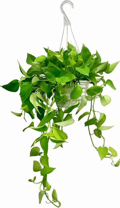 Hanging Plants Pothos Basket Neon Transparent Background
