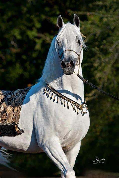 horse fierce horses stallion majestic arabian visit gentle cares he