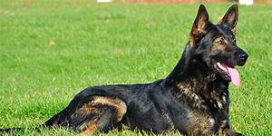 German Shepherd Watch Dogs Home - German Shepherd Watch Dogs