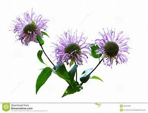 Wild Bergamot Flower Royalty Free Stock Photography ...