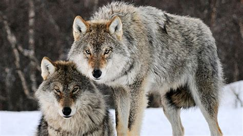 Norway Wolves