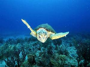 Pictures - Loggerhead Sea Turtle
