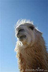 Styles Of Photography Funny Llama Face Stock Photography Image 13532032