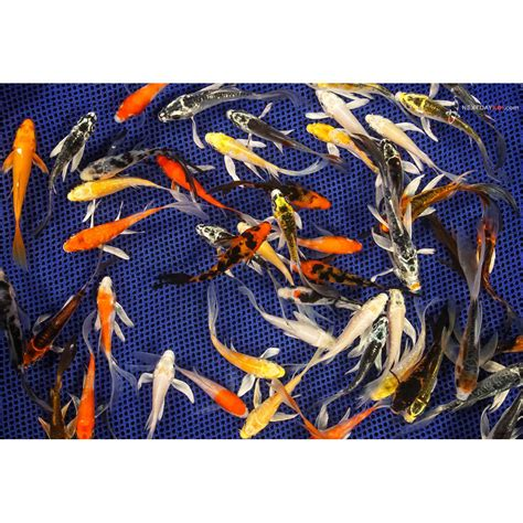 pond pack baby imported butterfly koi koi fish