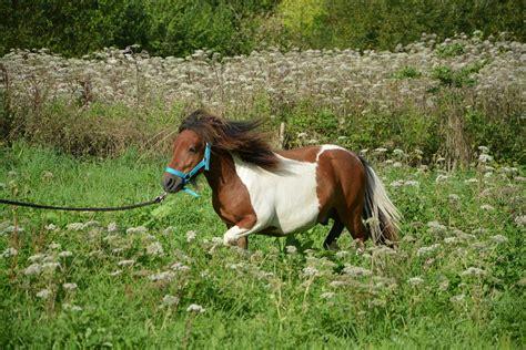 fun facts  miniature horses  horse crazy