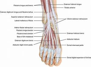 11 Muscles Of The Leg And Foot Musculoskeletal Key ...