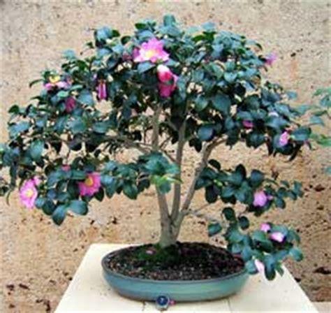 bonsa 239 cr 233 ation fiche d entretien du 233 lia camellia japonica