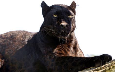 Black Panther Marvel Wallpaper Images