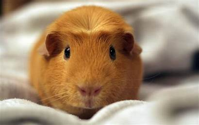 Hamster Wallpapers Backgrounds Hamsters Theme Hq Adorable