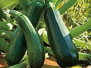 Quand Planter Courgette : planter la courgette en pot ou jardini re planters ~ Dallasstarsshop.com Idées de Décoration