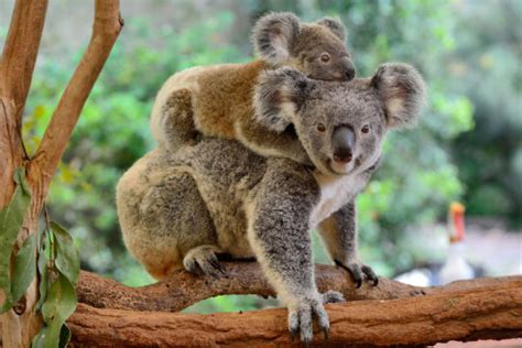 Ancient Virus Defends Koalas Against New Viral Attacks Sciencedaily