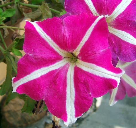 pictures of petunia file petunia jpg wikimedia commons