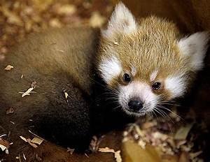 Red Panda | Baby Animal Zoo