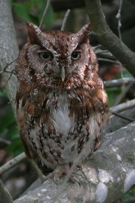florida suncoast birding eastern screech owl at sanibel