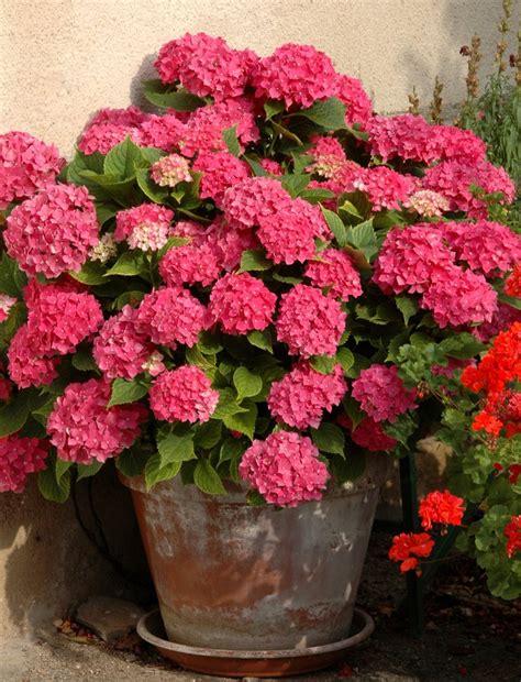 planter des hortensias en pot hortensia planter et tailler ooreka