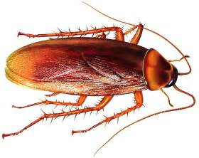 Afbeeldingsresultaten voor foto kakkerlak