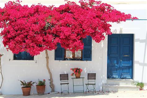 bouganville vaso bouganvillea fiori in giardino come coltivare la