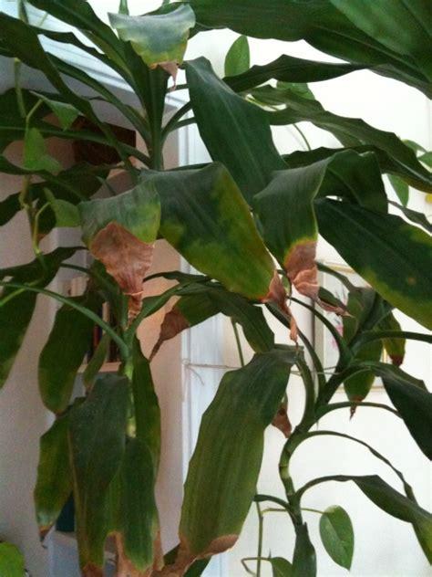 Removing Dracaena Brown Leaf Tips