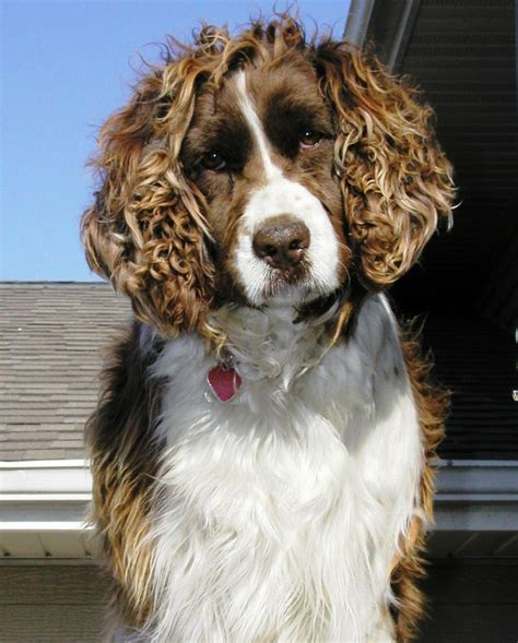 welsh springer spaniel breed guide learn about the welsh