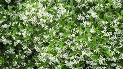 fiori ricanti resistenti al freddo terrazzi con gelsomino ispirazione per la casa e l