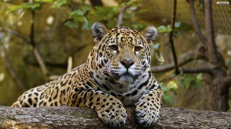 Jaguar Animal Wallpaper by Jaguar Wallpapers Wallpaper Cave