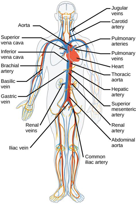 Arteries and nerves of ha… 16.3: Circulatory and Respiratory Systems - Biology LibreTexts