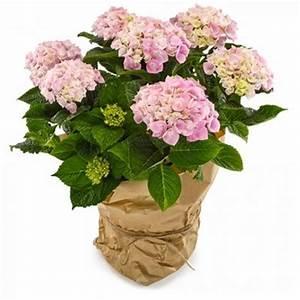 Hortensie Weiß Winterhart : rosafarbene hortensie von flowers deluxe auf kaufen ~ Orissabook.com Haus und Dekorationen