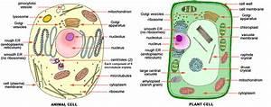 Human Cells Vs Plant Cells Vs Bacteria Cell