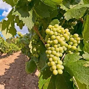 Achat Pied De Vigne Raisin De Table : vigne 39 chasselas dor 39 plantes et jardins ~ Nature-et-papiers.com Idées de Décoration