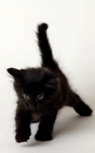 baby black cat 25 best ideas about black kittens on black