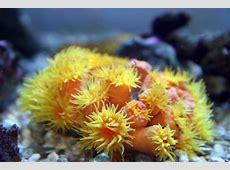 Sun Coral Tubastrea sp Hard Corals SPS and LPS