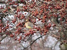 Waxwing photos - South Burlington, VT bird photos | South ...