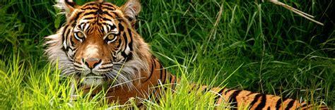 Fierce Tiger Pictures Collection Naldz Graphics