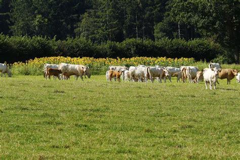 award winning beef stock image image  dartmoor bullock