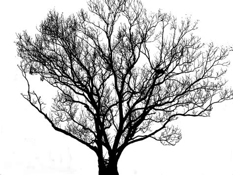 Free Images : tree branch silhouette black and white