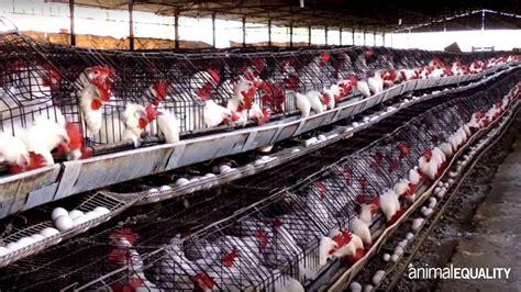 Allevamento Galline Ovaiole In Gabbia - l allevamento di galline ovaiole in messico
