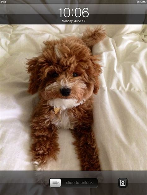 The 25 Best Toy Maltipoo Ideas On Pinterest Teacup Dogs