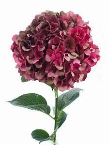 Hortensie Als Zimmerpflanze : hortensie magical ruby red classic dunkel rot bestellen ~ Lizthompson.info Haus und Dekorationen