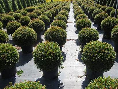 Globe Eugenia Globulus Plant Plants Tropical Myrtifolia