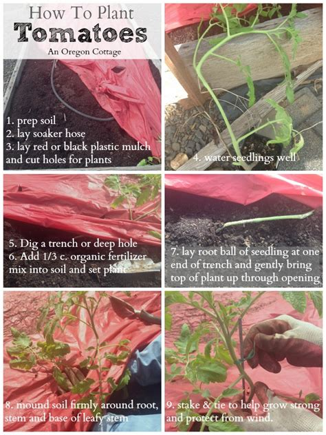 how to seed a tomato how to plant tomatoes have them thrive