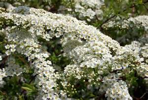 Spring Blooming Shrubs with White Flowers